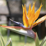 Birds of Paradise at Villa Andalucia