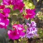 Bougainvillea flowers in the garden at Villa Andalucia