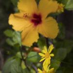 Hibiscus at Villa Andalucia