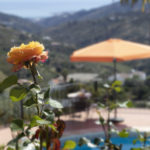 lemon Rose by the pool at Villa Andalucia
