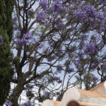 Jacaranda tree at Villa Andalucia