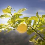Lemon tree at Villa Andalucia