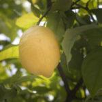 Lemons at Villa Andalucia